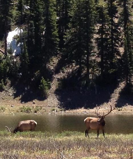Elk along the road.