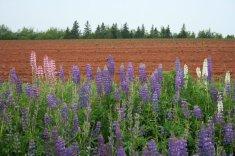 Purple lupines, red fields, green furs.
